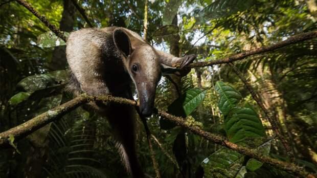 Тамандуа, или четырёхпалый муравьед (Tamandua tetradactyla) поднимается по запутанному переплетению ветвей и лиан в тропическом лесу Амазонии.   «Индивидуальности и сообщества», первое место среди студентов / Adria Lopez Baucells