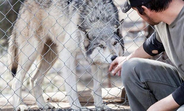 Волки мешали жителям деревни, пока егеря их не изловили. Но потом пришел деревенский парень и выпустил их