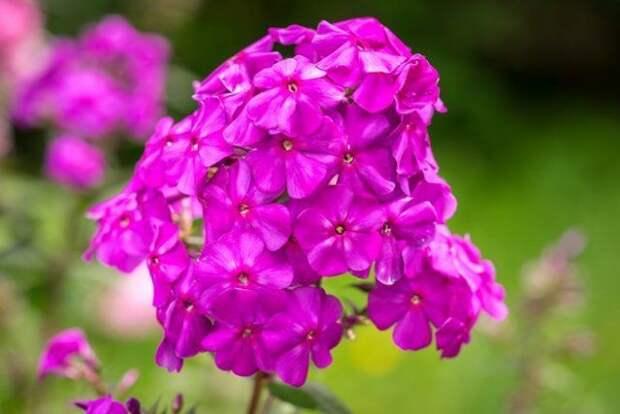Флокс шиловидный цветение