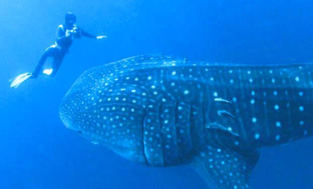 Огромная китовая акула попросила дайвера о помощи