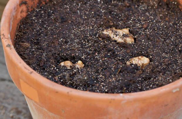Выращиваем полезный имбирь прямо в квартире