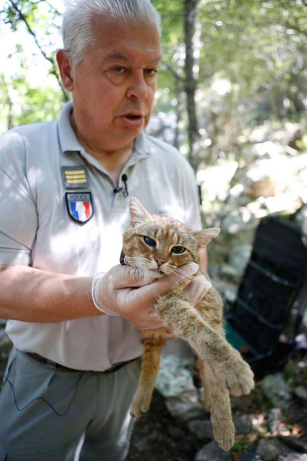 Ученые обнаружили новый вид кошки, который раньше считался мифическим
