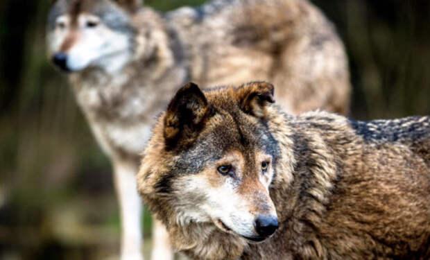 Деревенский мальчик освободил из заточения волков