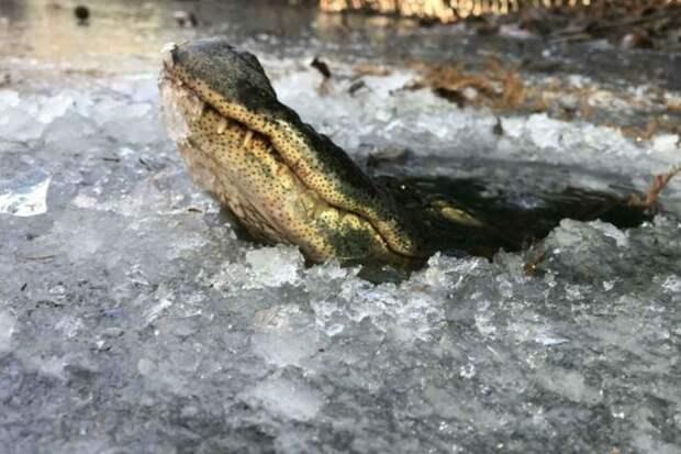Крокодилы научились жить подо льдом