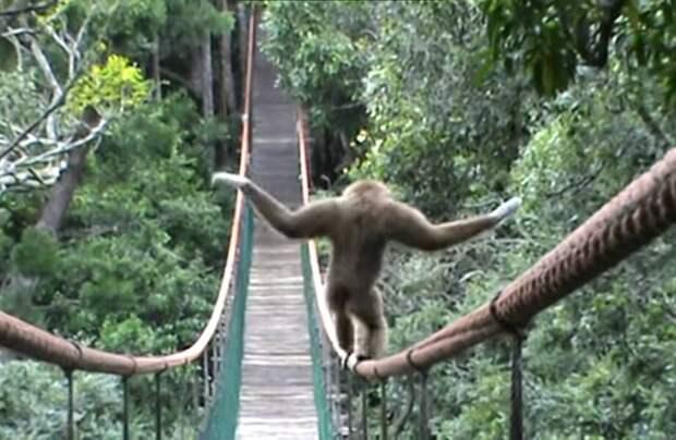 Как гиббон забавно проходит по мосту в заповеднике приматов