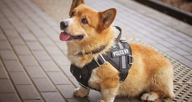 На страже закона: единственный в России корги-полицейский