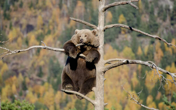 Медведица забралась на вершину дерева, чтобы вздремнуть и насладиться пейзажем