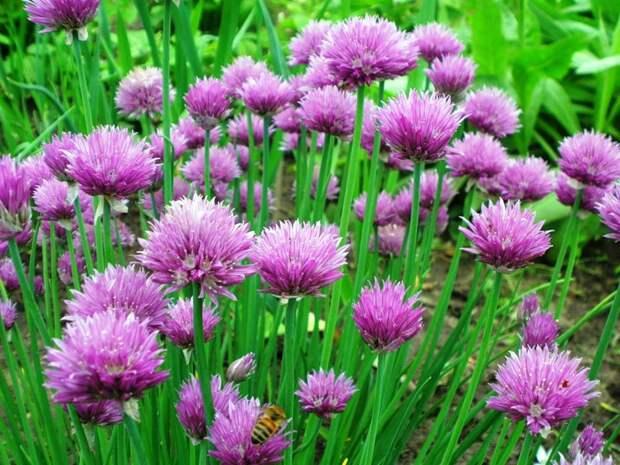 Лук-шнитт Supersadovod - о саде и огороде просто и интересно
