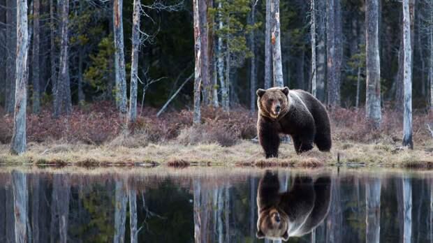 Зимняя спячка медведя, или почему медведь сосет лапу?