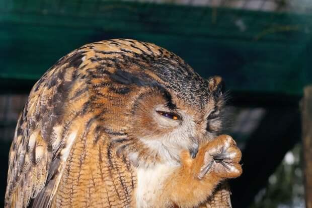 Просто кто-то слишком много ест: в Англии нашли аномально толстую сову
