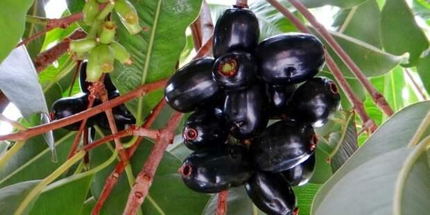Джамболан, или ямболан, или сизигиум ямболан (лат. Syzygium cumini) — плодовое дерево семейства Миртовые еда, интересное, неизвестные, плоды, природа, растения, съедобные, фрукты
