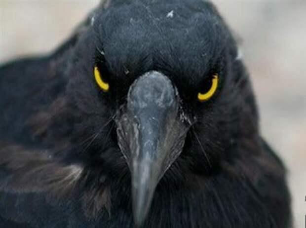 ВОРОНЫ.Если бы орнитологи не сняли это на камеру,никто бы не поверил.