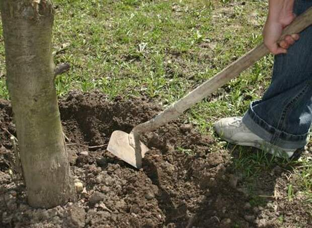 Что делать с землей около плодовых деревьев