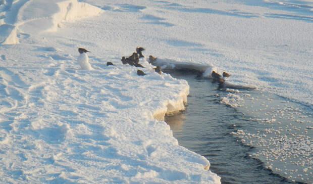Как появились моржи