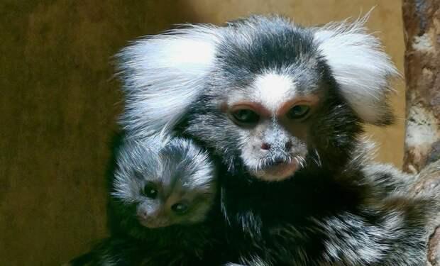 Два детеныша родились у игрунковой обезьянки в Иркутской зоогалерее