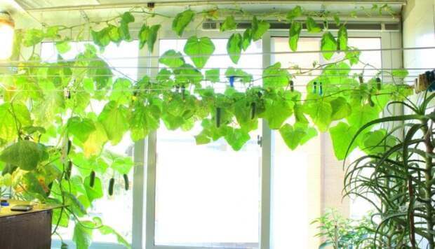 Советы для тех, кто всегда хотел попробовать свои силы в выращивании огурцов дома. /Фото: ic.pics.livejournal.com