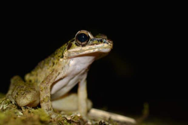 Мангусты сделали лягушек с острова Амамиосима трусливее