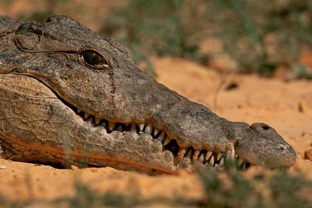 Почему плачет крокодил