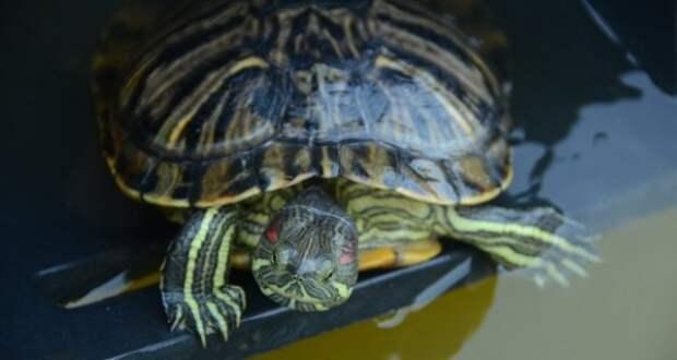 Подальше от голодной смерти: черепахи из «Муссона» переехали на ЮБК
