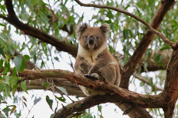 В Австралии дикая коала вскарабкалась на рождественскую елку в доме