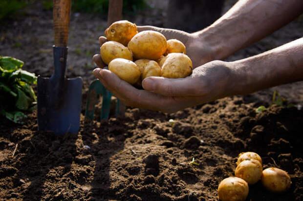 Выбирайте клубни картофеля для посадки правильно