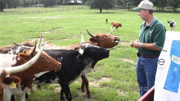 На смену домашним собакам придут мини-коровы?