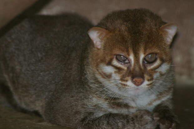 10 классных диких кошек, о которых мало кто знает Длиннопост, Семейство кошачьих, Животные, Кошка-Рыболов, Кошка Темминка, Сервал, Барханный кот, Маргай, Ягуарунди, Калимантанская кошка