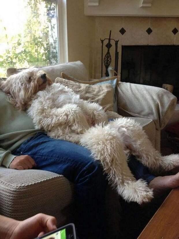 Полный релакс домашний питомец, животные, как люди, милота, подборка, позитив, собака