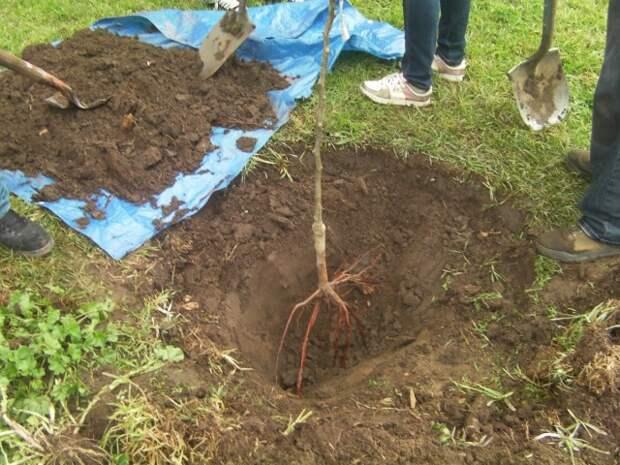 Перед тем, как посадить дерево на участке, проверьте его совместимость с соседними