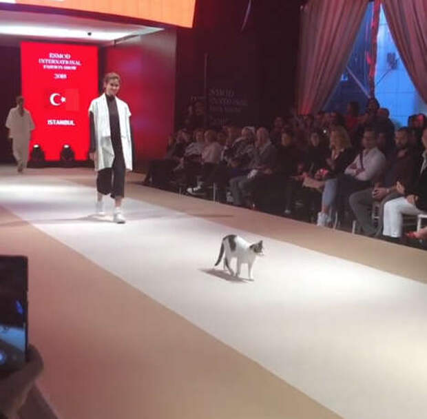 кошка на подиуме