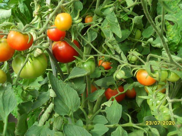 Интересный опыт выращивания томатов без химии