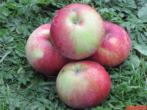 7 самых зимостойких сортов яблок