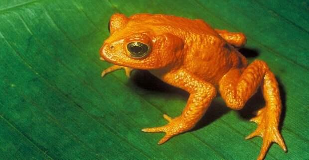 10. Оранжевая жаба вымерли, животные, история, человек