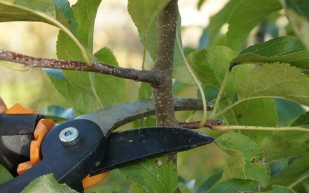 Летняя обрезка позволяет приблизить период плодоношения
