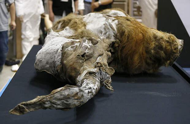 Найденные останки мамонта