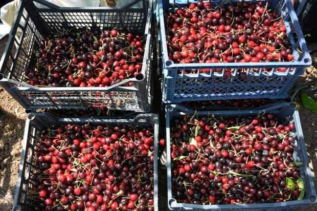 В Севастополе уже собрали почти 12 тонн черешни