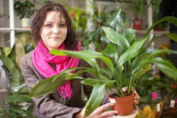 Комнатные растения: аспидистра