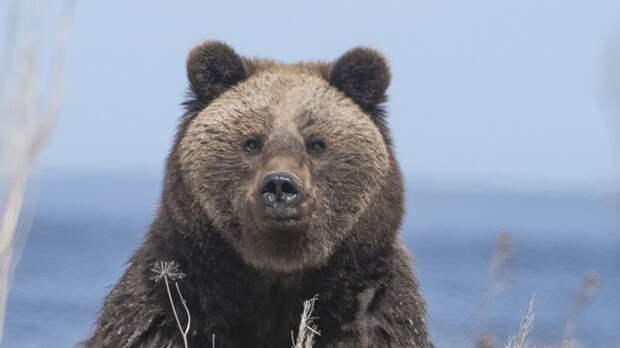 Медведь приходил к палатке Владимира Путина в тайге