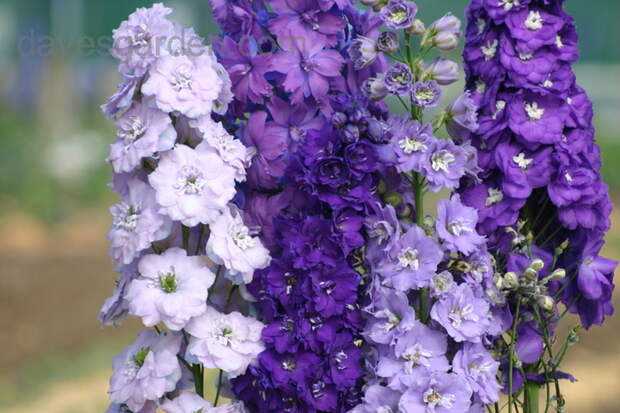 Delphinium 'Misty Mauves' (700x466, 233Kb)
