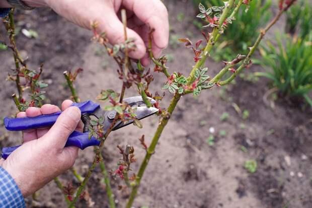 Как правильно провести обрезку роз осенью