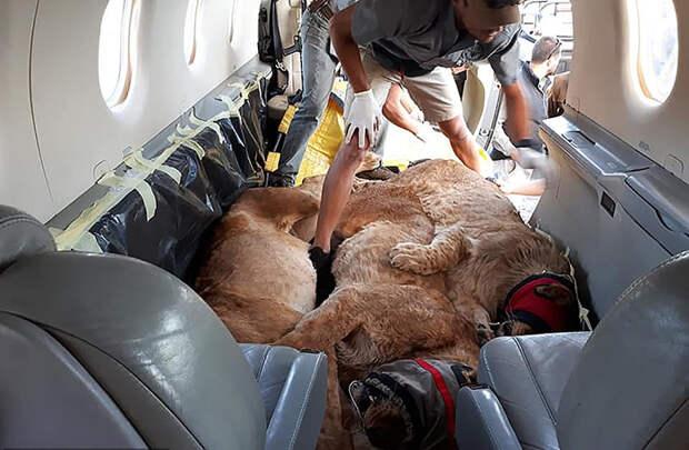 Львицы лежат в обнимку в самолете из Стамбула в Йоханнесбург.