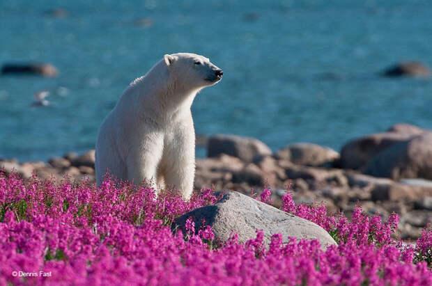 Белые медведи невснегу, новцветах: такого выеще невидели