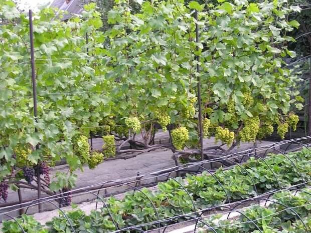 От паутинного клеща на винограде