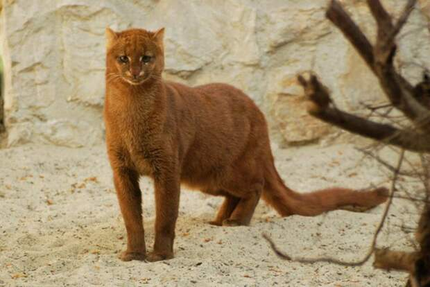 Спасенный на улице котенок оказался диким хищником ягуарунди