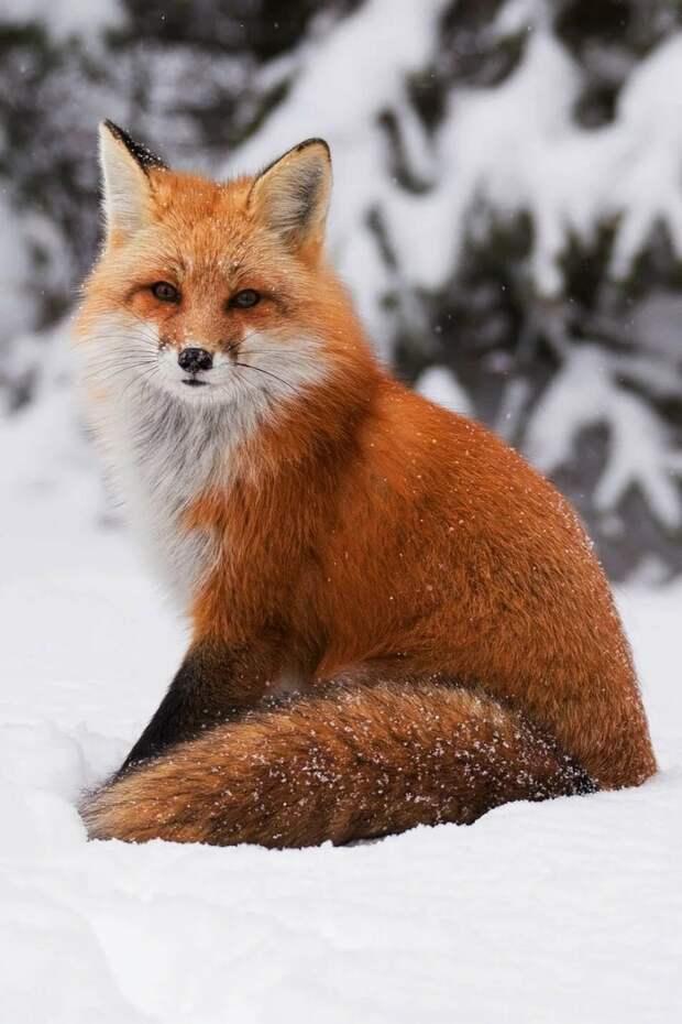 Обыкновенная лисица.