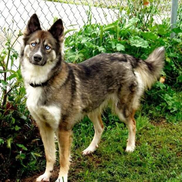 Как выглядят помеси хаски с другими породами собак
