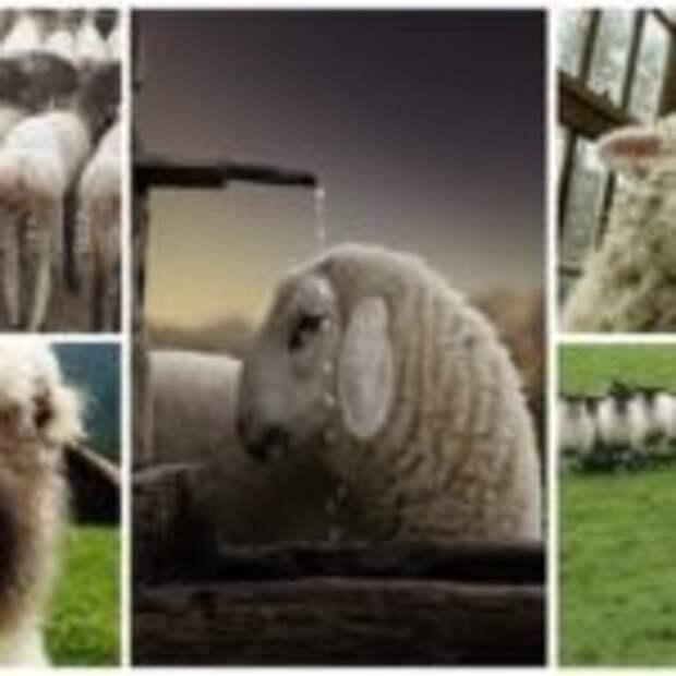 35 словечек о простых овечках: фото из жизни и бытия