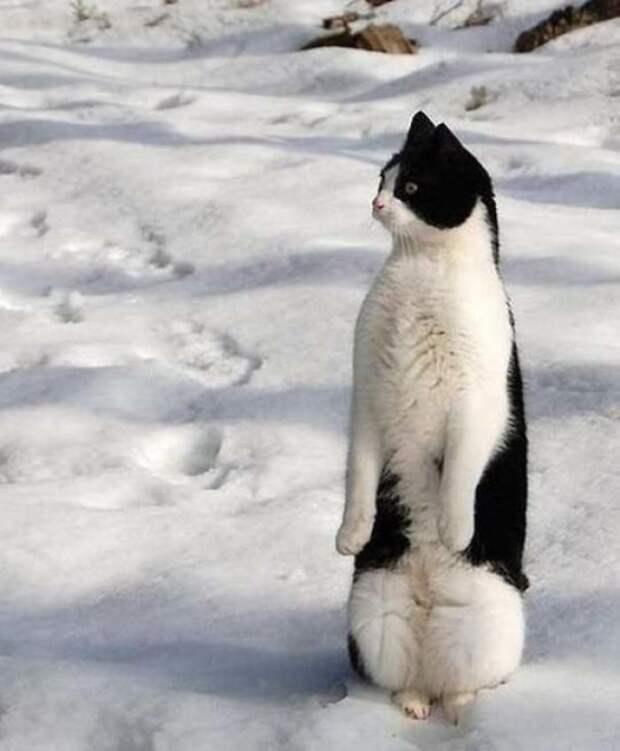 11 милых фото котов, которые решили стать пингвинами