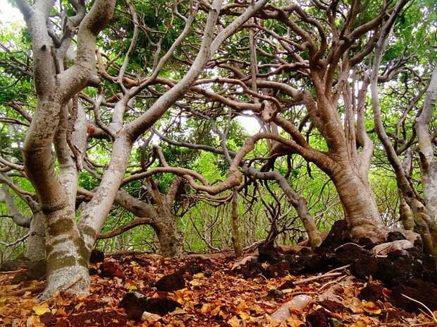 Самое опасное дерево в мире деревья, древесина, интересное, природа, факты