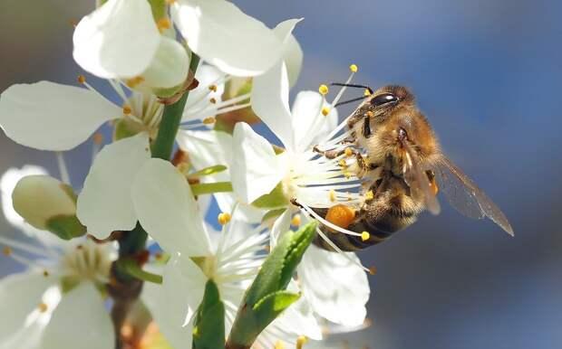 В Удмуртии из-за обработки полей вновь начали гибнуть пчелы